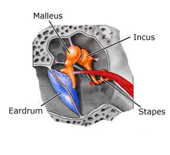 Middle Ear Bones (Ossicles)